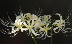 彼岸花が白い?その理由や違う種類なのか、花言葉や珍しいの?