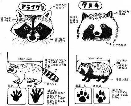 タヌキとアライグマの違いは?見分け方や性格や生態、被害や生息地も紹介!