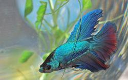 Datos curiosos sobre el pez Betta