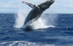 avistamiento de ballenas en república dominicana