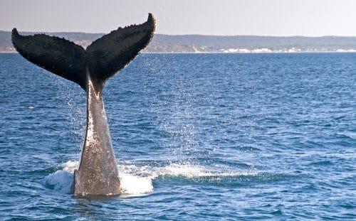 Temporada de ballenas 2015 en Los Cabos