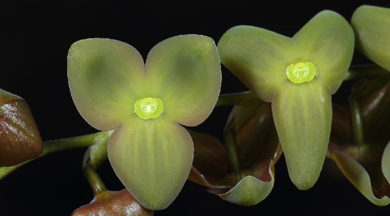 Nueva orquídea es descubierta en los farallones de Cali