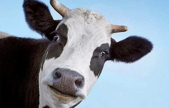 Massage, Endorphins, and Sacred Cows - Tracy Walton ... |Scared Cow