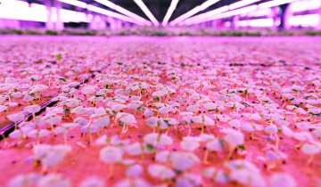 Vertical growing – trays of early growing plants under LED lighting. (Picture: Lorne Campbell / Guzelian)