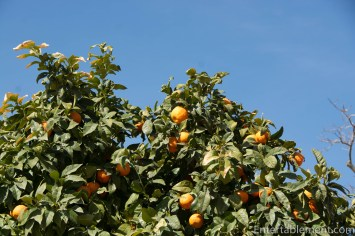 There are lots of orange trees