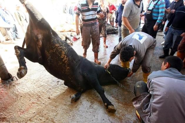Eid Ul Adha Bull sacrifice Ankara Turkey