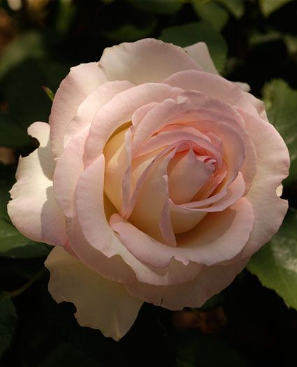 cream white pink edge roses