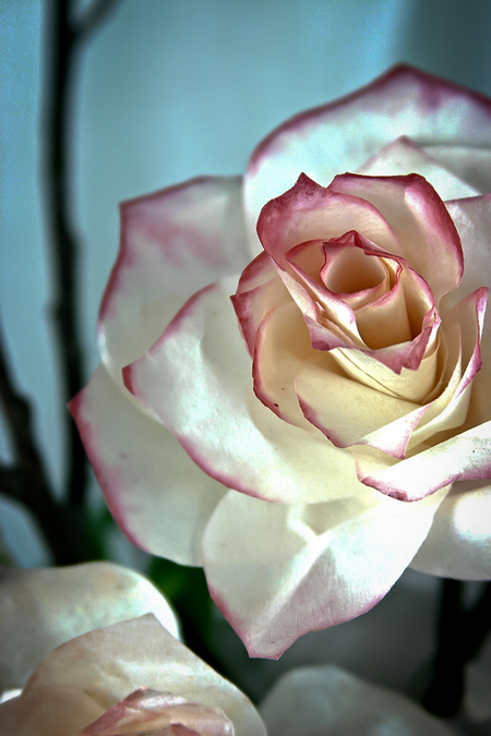 gorgeous rose