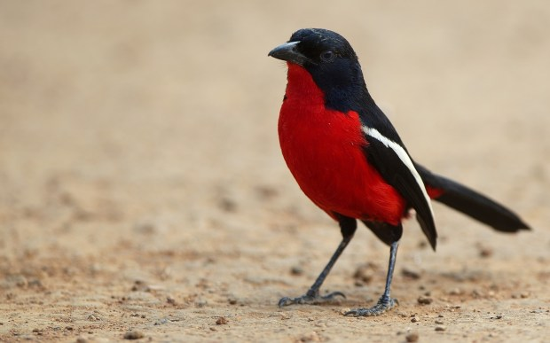 red black color bird