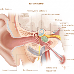 Behind The Ear Diagram Labeled Rb25det S13 Wiring Disorders Problems And Treatment Ent Florida