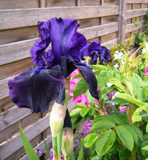 Iris Germanica 'Anvil of Darkness'