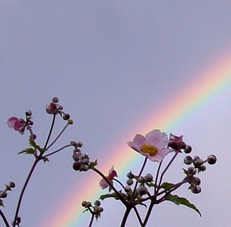 Japanese Anenomes against the rainbow