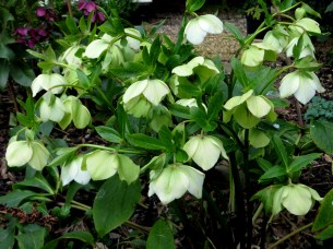 Hellebore (unknown)