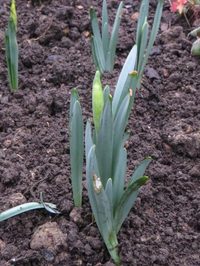 Daffodils starting up