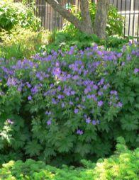 Geranium Mayflower (www.davesgarden.com)