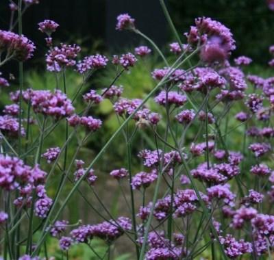 Verbena Bonariensis (www.woottens.com)