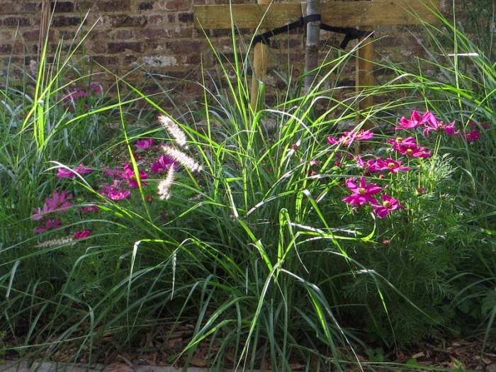 Pennisetum 'Karly Rose' & Cosmos