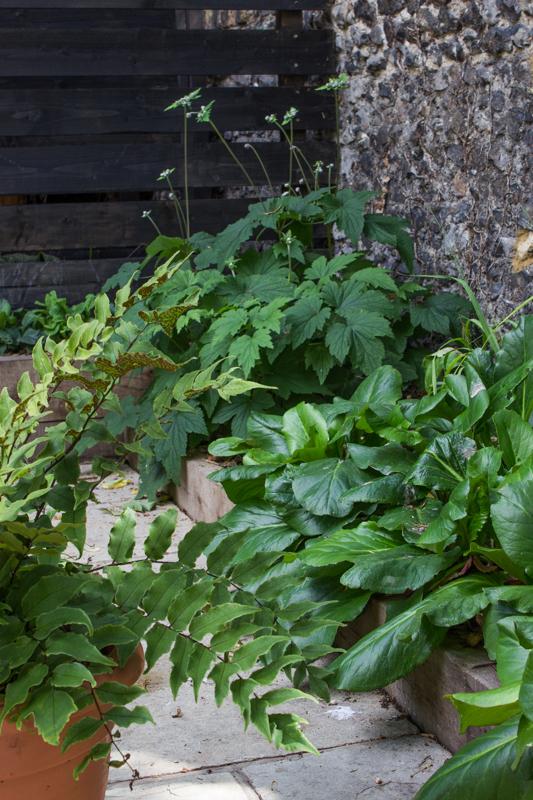 Japanese Anemones in bud, & Bergenias flourishing