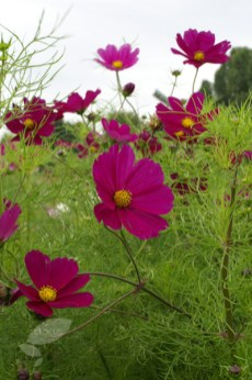 Cosmos (www.crocus.co.uk)