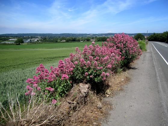 Pink Valerian (www.hegartywebberpartnership.com)