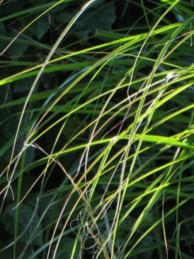 A hint of Stipa Tenuissima & Miscanthus 'Kleine Silberspinne'
