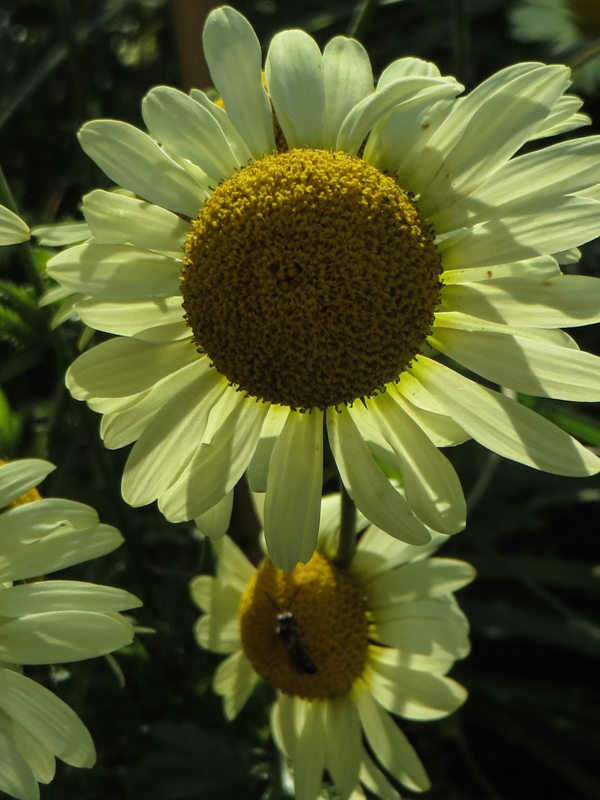 Anthemis 'Mayonnaise'