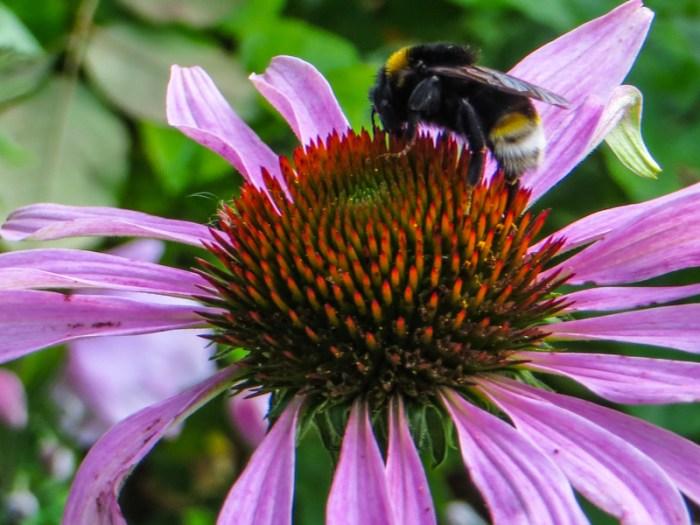 Echinacea with bumblebee