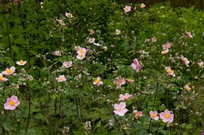 Japanese Anemone 'Hadspens Abundance'