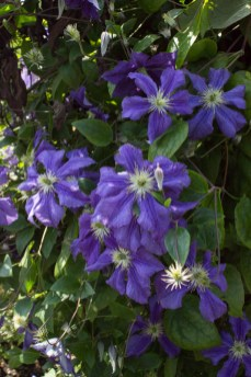 Clematis at Hyde Hall