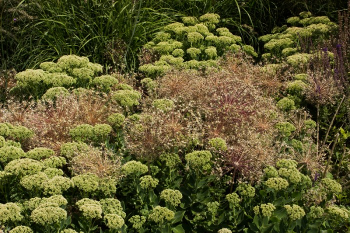 Sedums and allium seed heads at Hyde Hall
