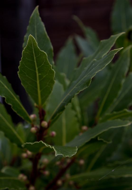 Laurel - bay leaves