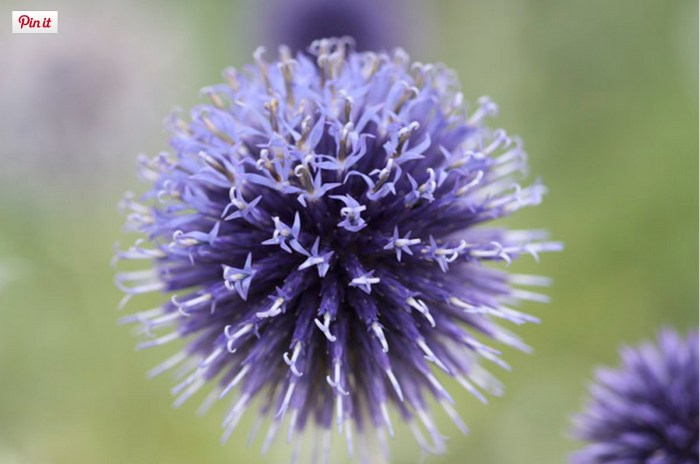 Small globe thistle (www.crocus.co.uk)