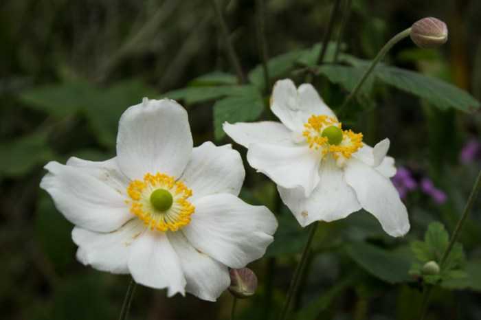 Japanese Anenome 'Honorine Jobert'