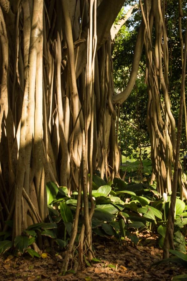 The Banyan Tree, Durban Botanical Gardens