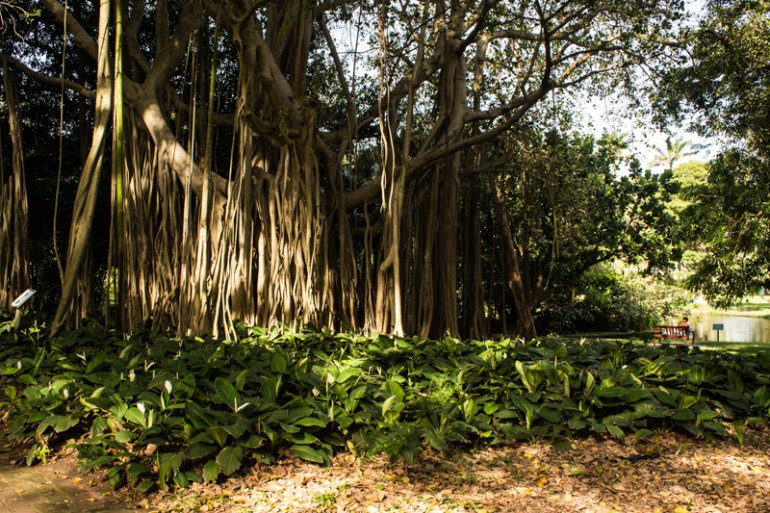 The Banyan Tree, Durban Botanical Gardens