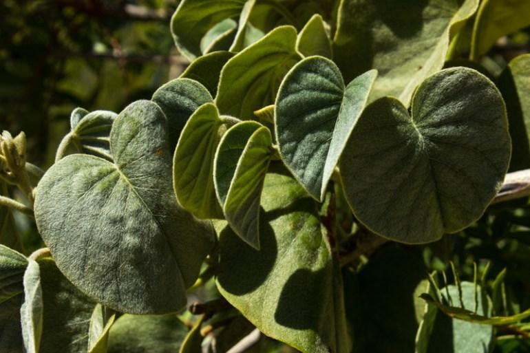 Unkown plant Karoo Desert Botanic Gardens