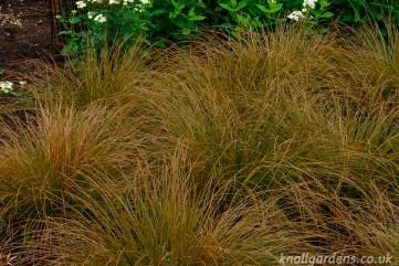 Carex Testacea (http://www.knollgardens.co.uk/product/carex-testacea/)