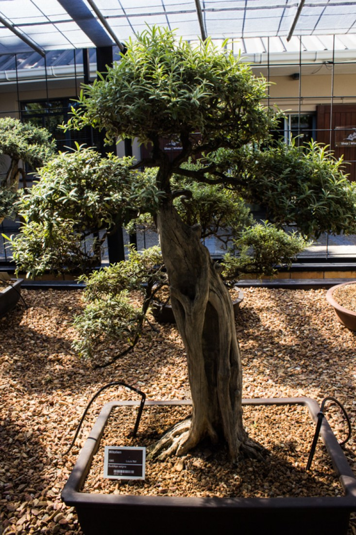 Bonsai in Stellenbosch Botanic Gardens