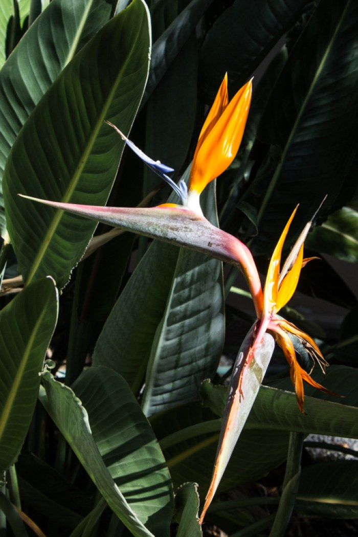 Strelitzia in Stellenbosch Botanic Gardens