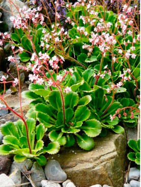 Saxifrage 'London Pride'