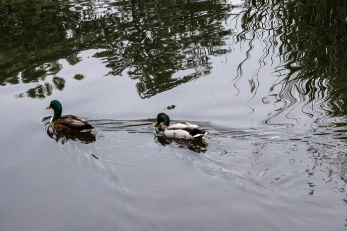 Ducks at Lavender Pond