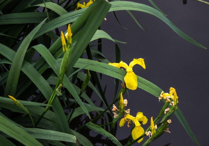 Irises at Lavender Pond