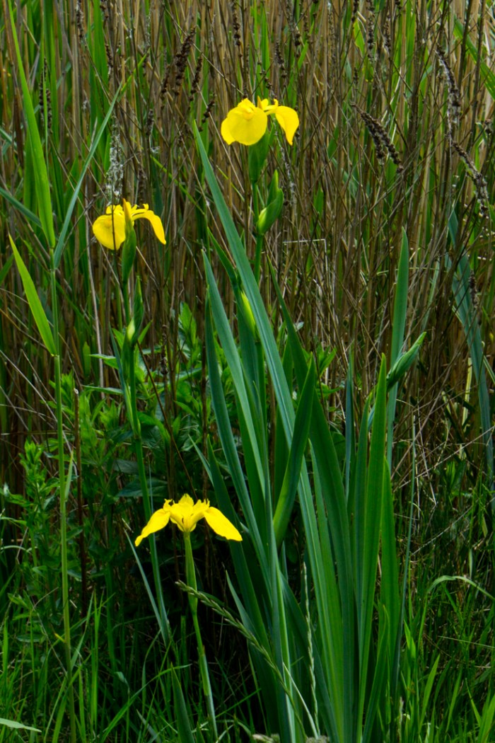 A pond with flag irises in Stave Hill Ecology Park