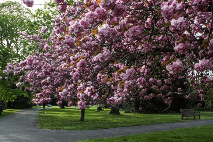 Cherry blossom in Greenwich Park