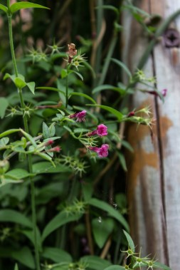 Small pink jasmine