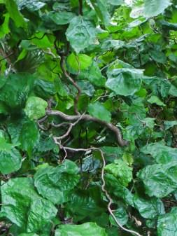 Corkscrew hazel in Bina Gardens East