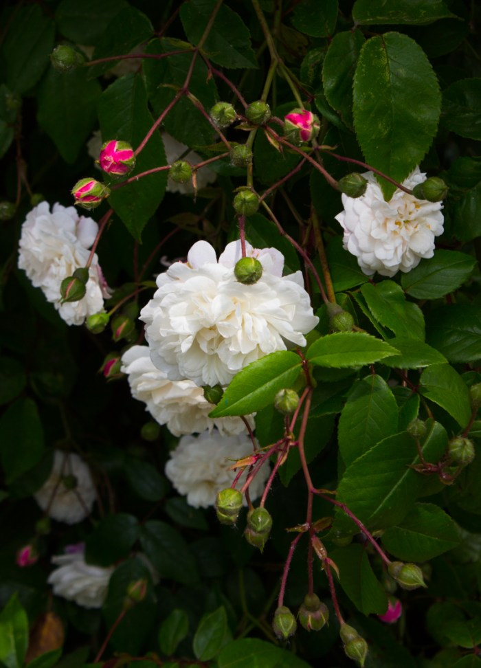Climbing rose at Stave Hill