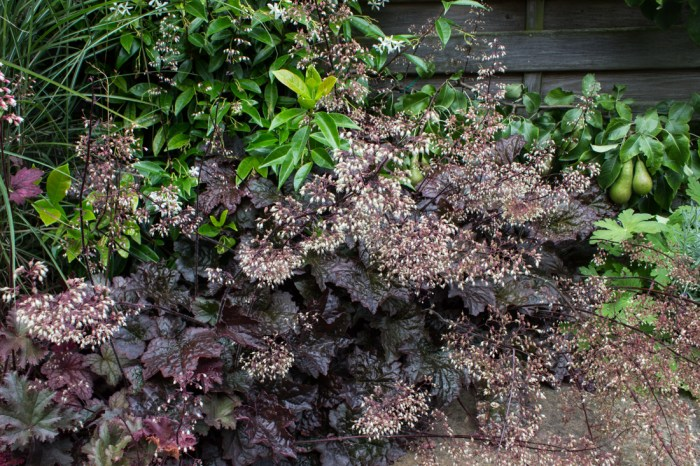Heuchera 'Purple Palace'