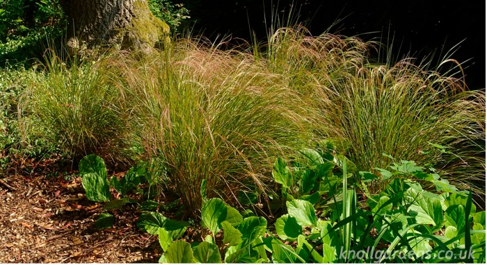 Anemanthele (http://www.knollgardens.co.uk/product/anemanthele-lessoniana/)