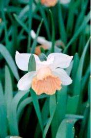 Daffodil 'Chromacolor'
